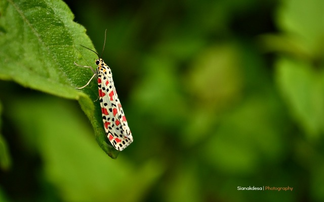 The Crotalaria Moth