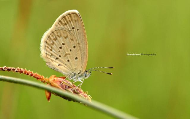 Butterfly_Aceh